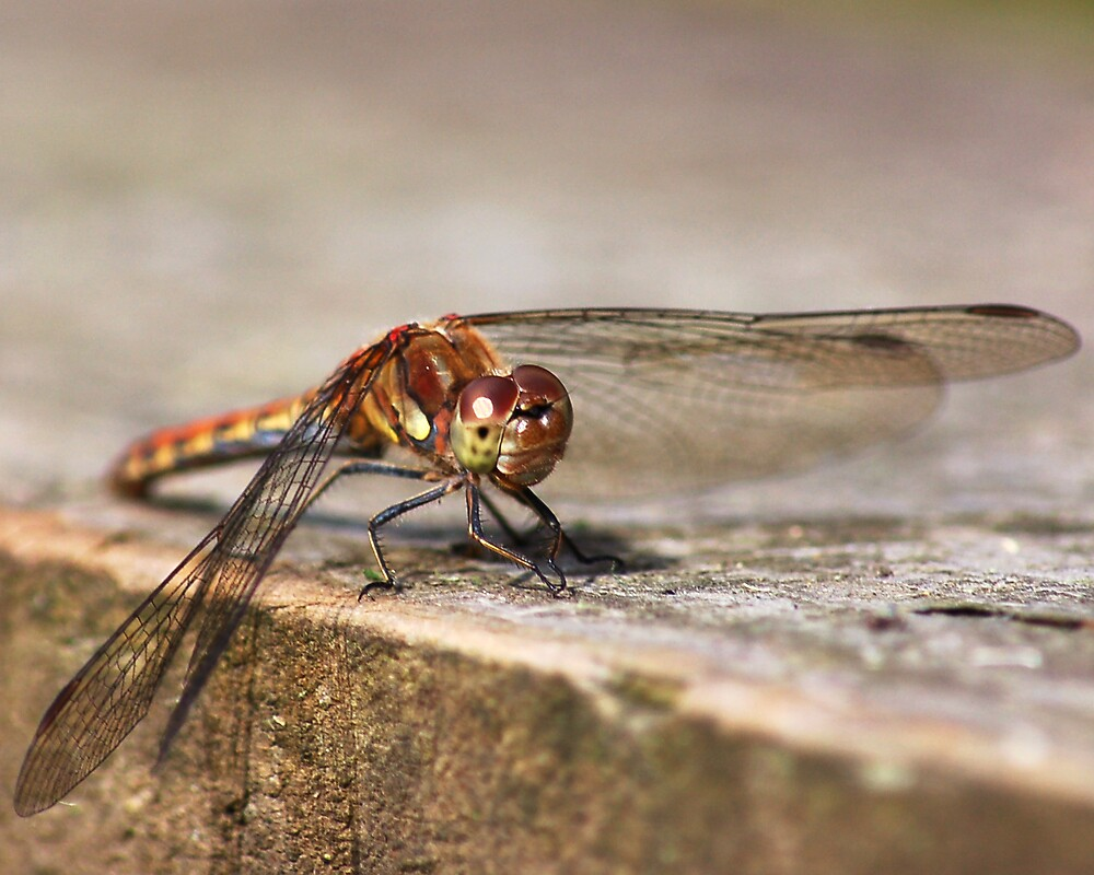 Dragonfly Resting by Thelonius