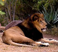 Male Lion (Panthera leo) by Maria A. Barnowl