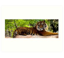 Lounging Tiger (Panthera tigris) Art Print