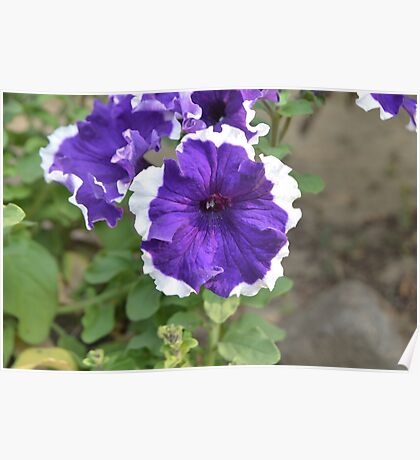 Beautiful Unknown Violet & White Flower | Nature Photography Poster