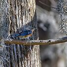 Blue Bird Catches a Spider by TJ Baccari Photography