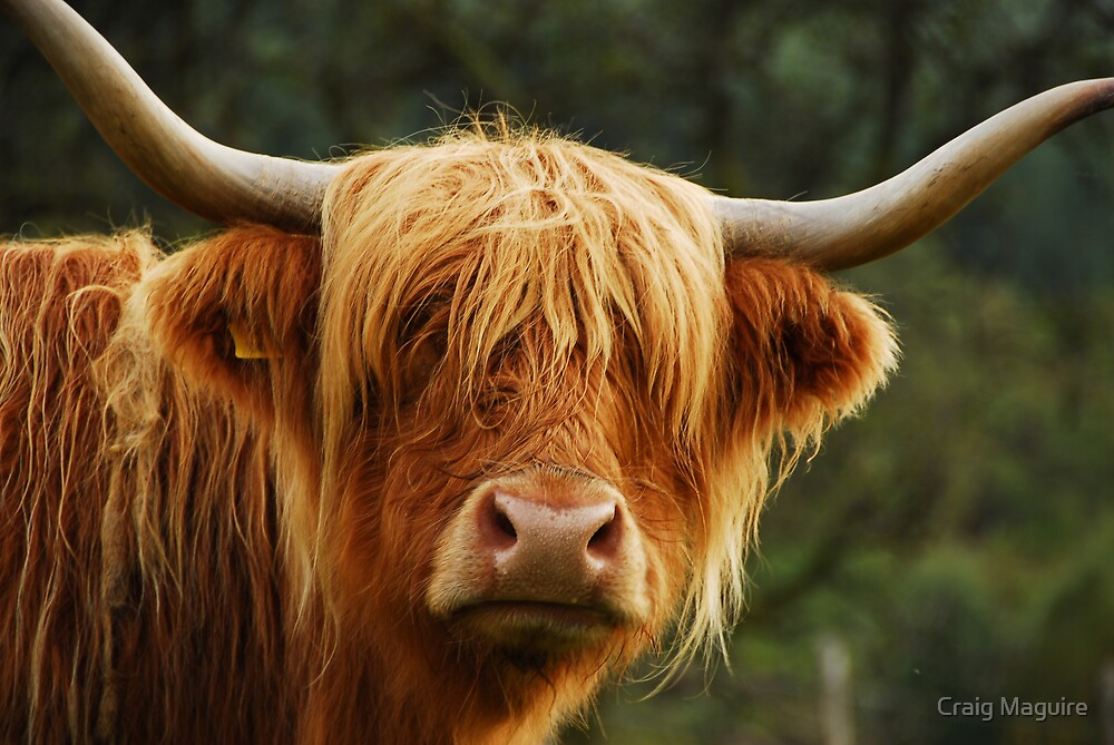 Highland coo by Craig Maguire
