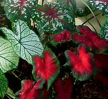 Caladiums by Cardet