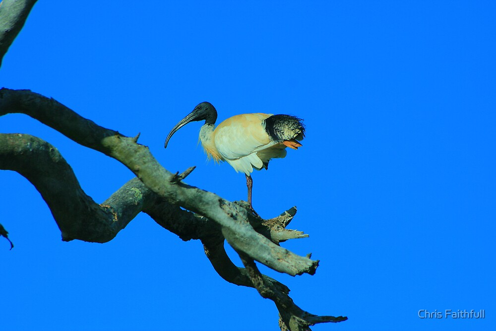 Suburban Ibis by Chris Faithfull