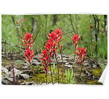 Castilleja, commonly known as Indian paintbrush Poster