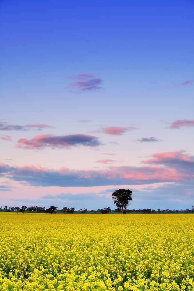 Canola Dreaming by David Haviland