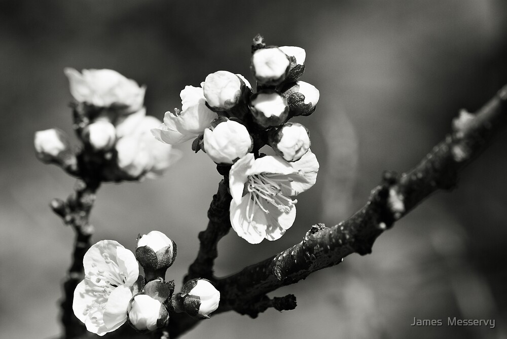 Nectarine Blossom Black and White by James  Messervy