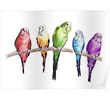 Rainbow budgie birds Poster
