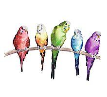 Rainbow budgie birds Photographic Print