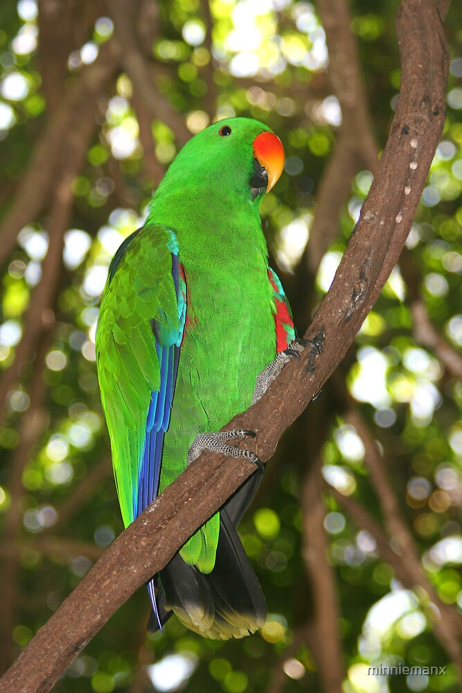 Male Electus Parrot by minniemanx