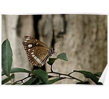 Australian Crow Butterfly Poster