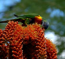 Rainbow Lorikeet by Judy Harland