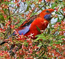 Crimson Rosella by Robert Elliott