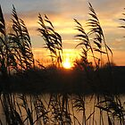 Sun between the reeds by MaryO