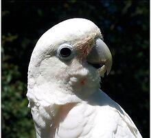 Goffin Cockatoo by byuchic