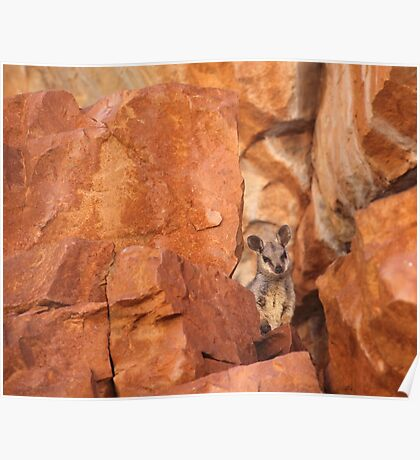 A Black-flanked Rock Wallaby Poster