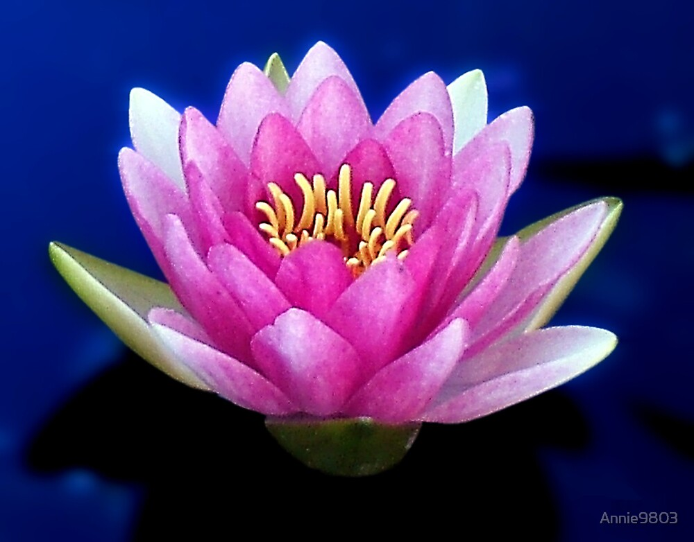 Water Lily by Annie9803