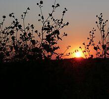 sunflower sunset by Jennifer Mayo