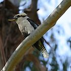Kookaburra on duty by Martin Hampson