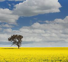 Canola Fields by Neil