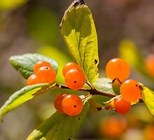 Honeysuckle berries by Forestpictures