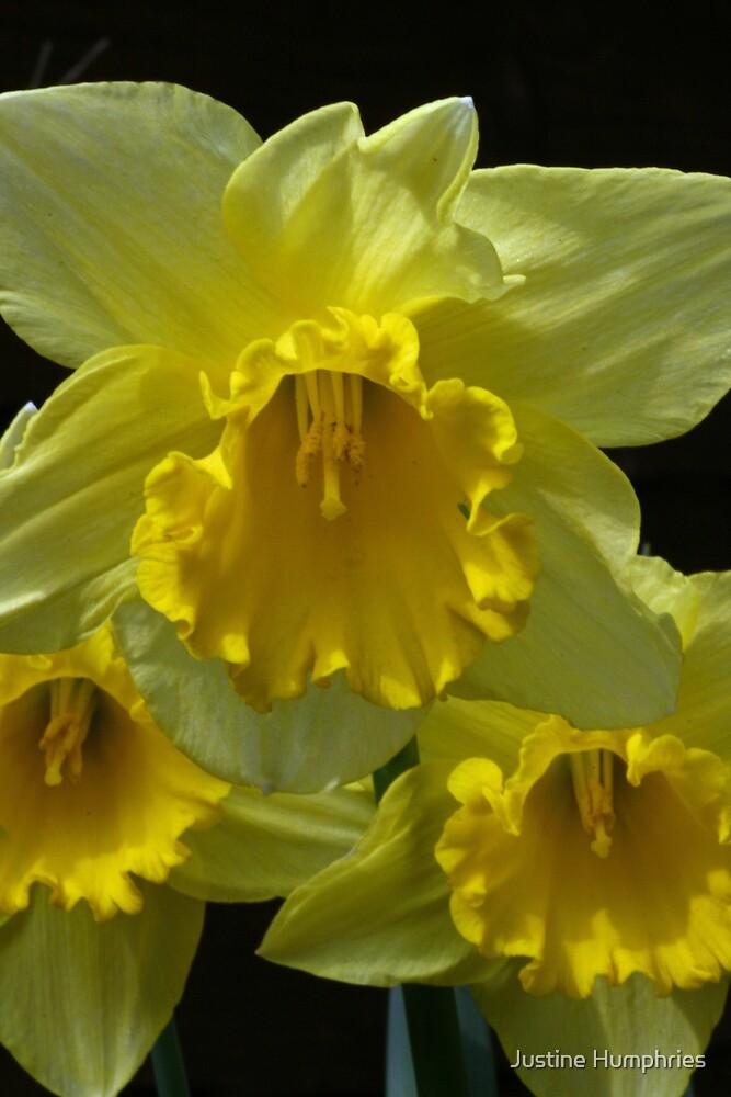 Daffodils by Justine Humphries