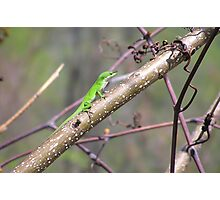 Male Anole-green Photographic Print