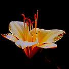 Day lily Beauty  by sandysartstudio