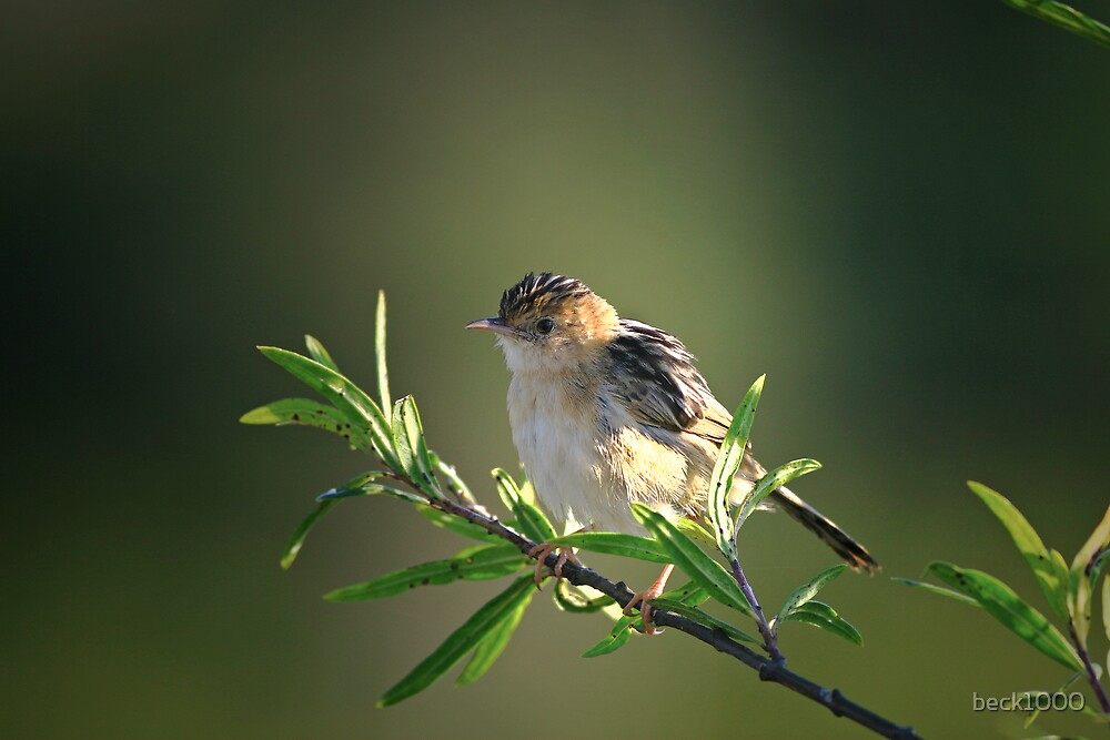 Golded-headed Cisticola by beck1000