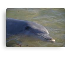 Monkey Mia dolphin, WA Canvas Print
