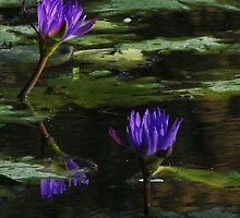 Water Lillies by Linda Swadling