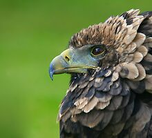 Bateleur Eagle by JamieP