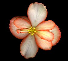 Begonia by Jeffrey  Sinnock