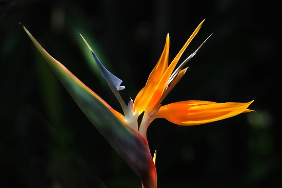 Bird of Paradise by Bonnie T.  Barry