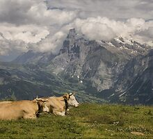 Cows with a View by Jonnyfez