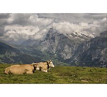 Cows with a View Photographic Print