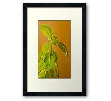 The Herb Called Basil Framed Print