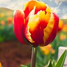 Tulip Time by Bevlea Ross