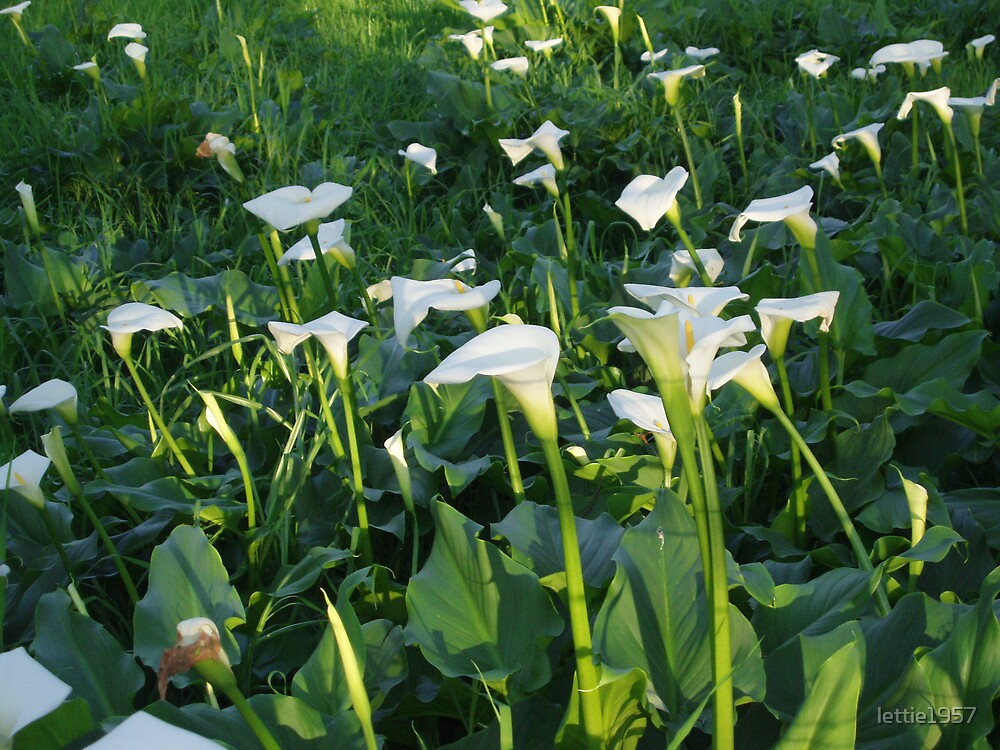 Field of Arum Lilies -- Perth WA by lettie1957