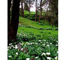 Field of Arum Lilies - Western Australia Photographic Print