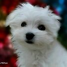 Hermes the Maltese - My Growing Boy by Morag Bates