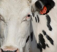 Dairy Cow Close Up by SallyOPhoto