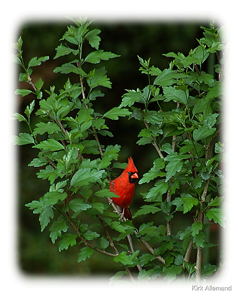 Cardinal In Hybiscus by Kirk Allemand