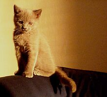 Little britain kitten by Alexander Efimov