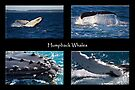 Humpback Whales by Darren Stones