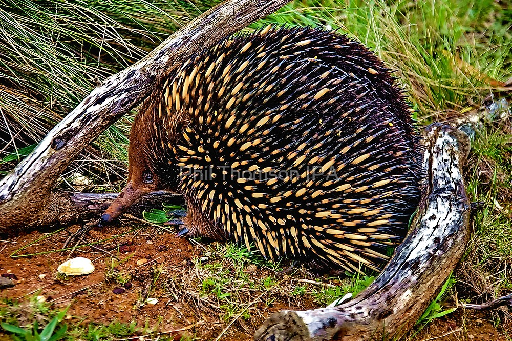 """""""Echidna"""" by Phil Thomson IPA"""