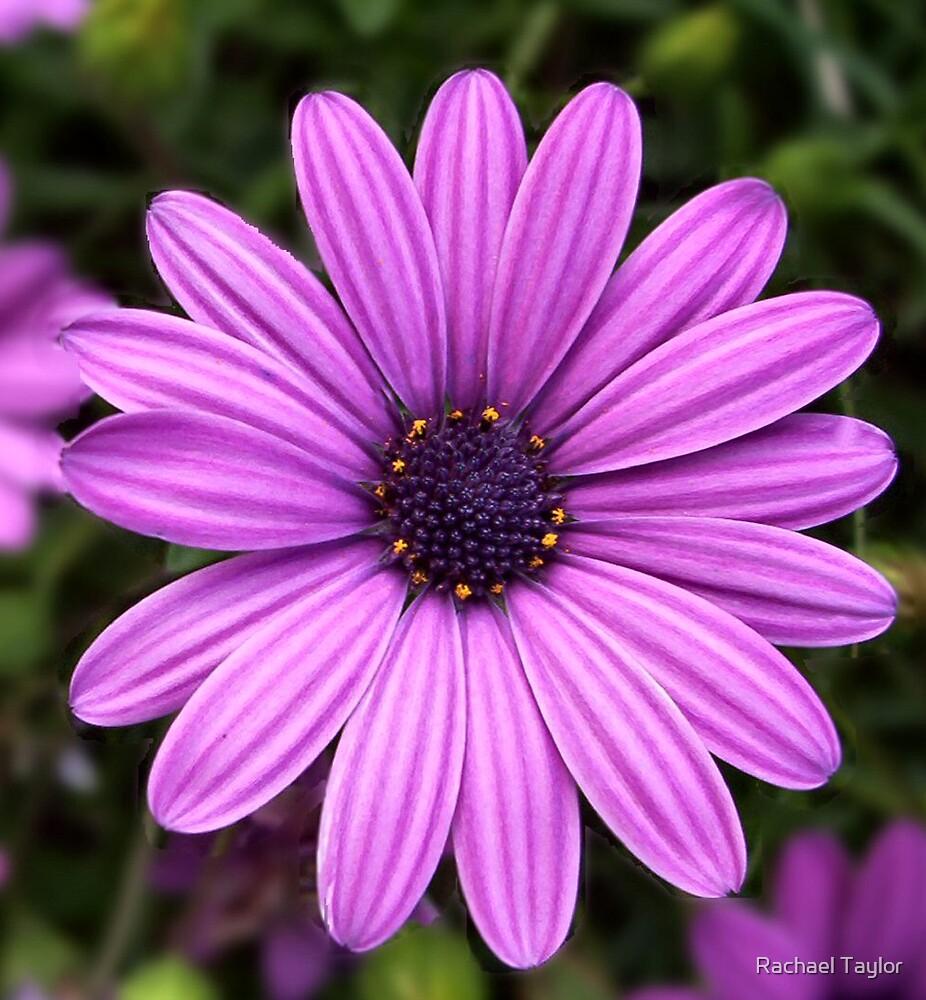 Purple Daisy by Rachael Taylor
