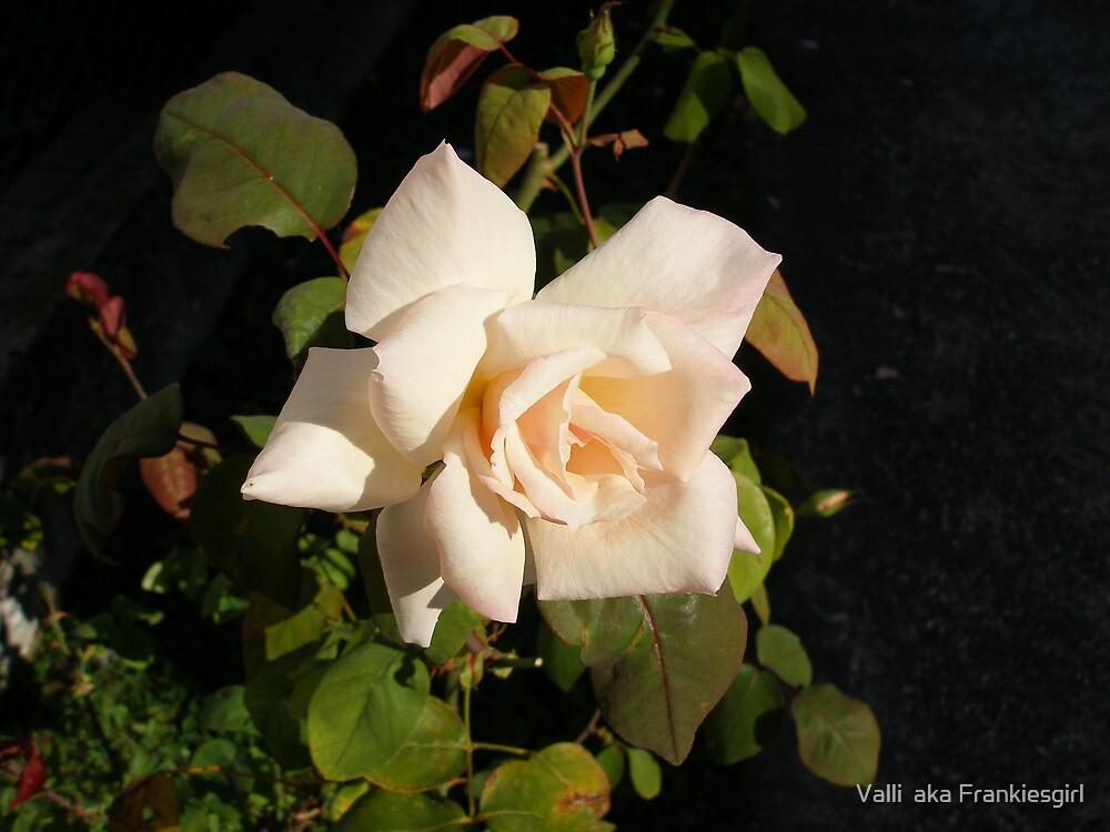 Pink Rose by Valli  aka Frankiesgirl
