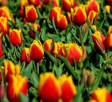 Tulips#2 by Ollieography