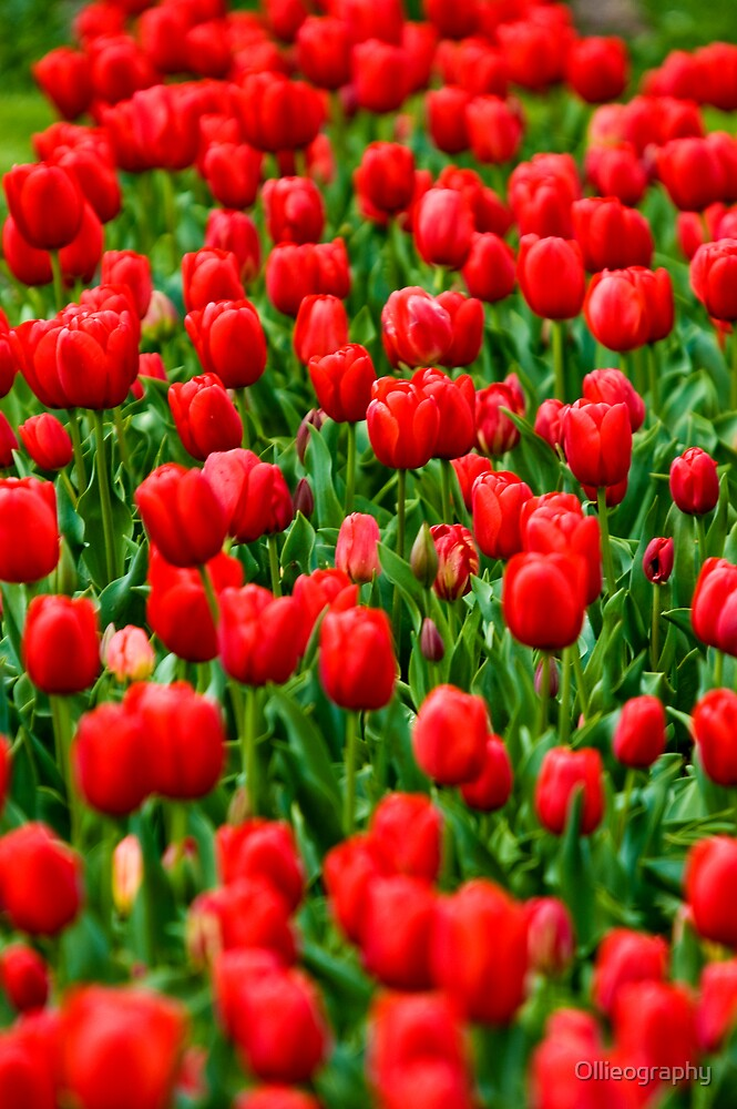 Tulips#9 by Ollieography